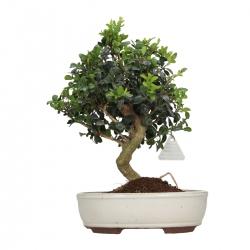 Buxus sempervirens - Bosso - 32 cm
