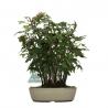 Acer palmatum Viridis - acero - 31 cm