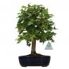 Acer buergerianum - maple - 33 cm