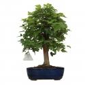Acer buergerianum - acero - 33 cm