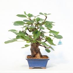 Ficus carica - 45 cm
