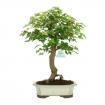 Acer buergerianum - érable - 42 cm