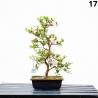 Azalée Sakurahime - 53 cm - KB17
