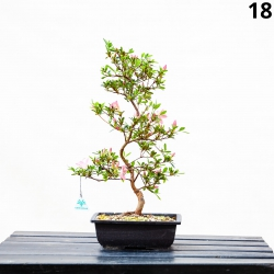 Azalea Azumakagami - 53 cm - KB18