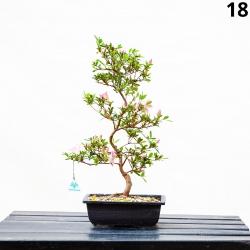Azalée Azumakagami - 53 cm - KB18