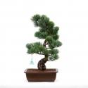 Pinus pentaphylla - Pino - 53 cm