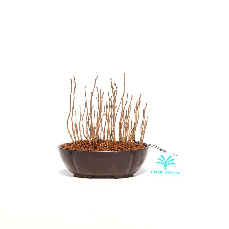Rhus  - 19 cm