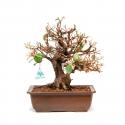 Elaeagnus Angustifolia - 37 cm