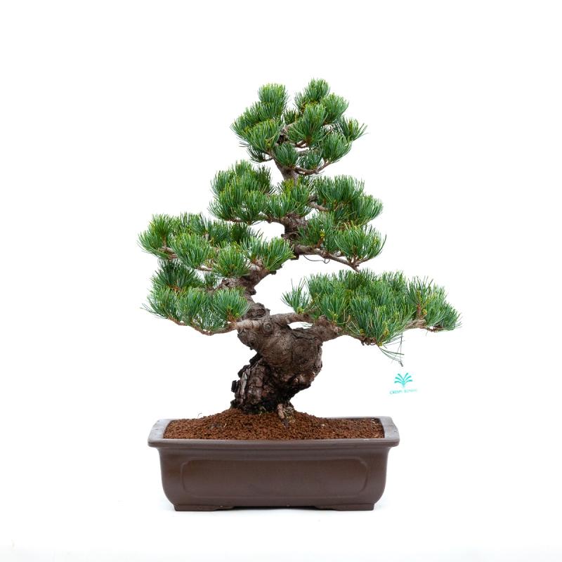 Pinus pentaphylla - Pino - 52 cm