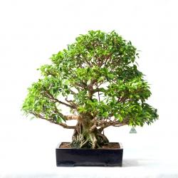 Ficus retusa - 78 cm