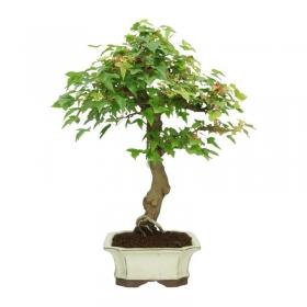 Acer buergerianum - acero - 42 cm