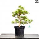 Azalea Senbazuru - 47 cm - KB22