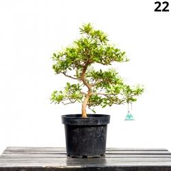 Azalée Senbazuru - 47 cm - KB22