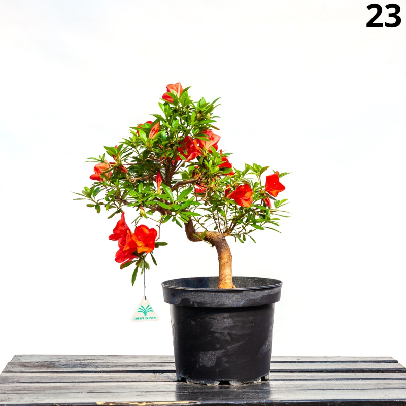Azalea Gin-no-suzu - 52 cm - KB23