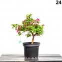 Azalea Hanamaiko - 52 cm - KB24