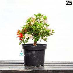 Azalée Sachi-no-izumi - 42 cm - KB25