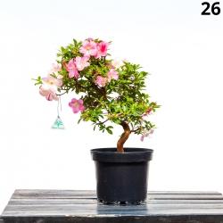 Azalea santoka - 55 cm - KB 26