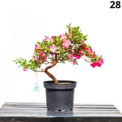 Azalea Santoka - 47 cm - KB28