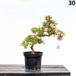 Azalea Misora - 54 cm - KB30