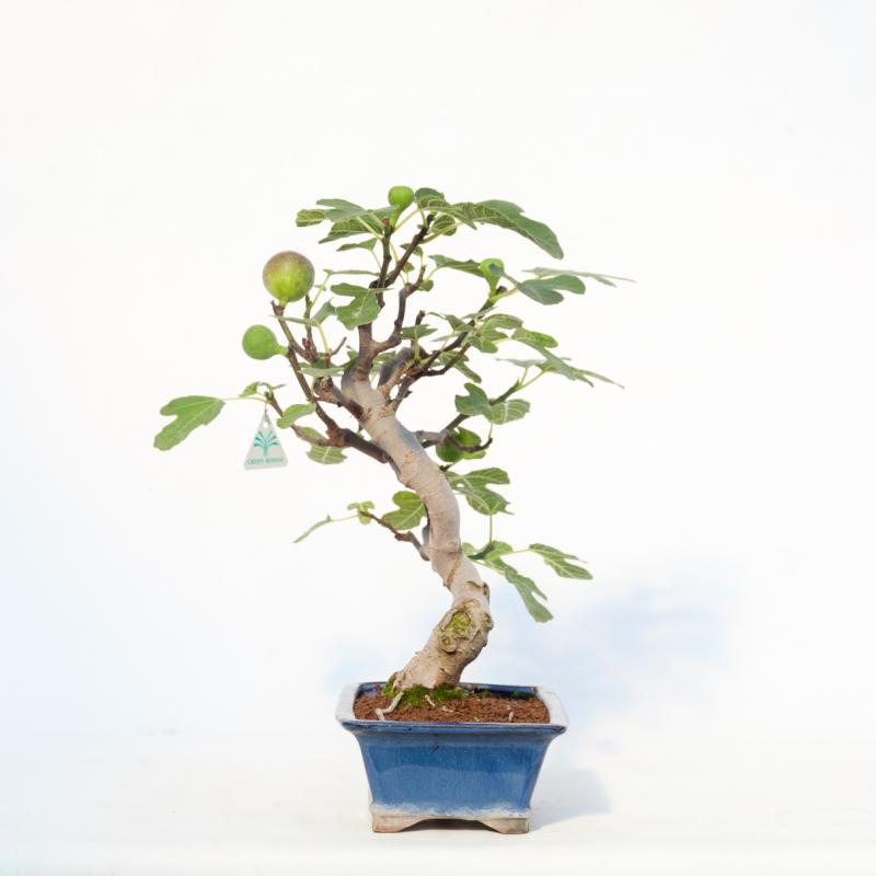 Ficus carica - Fico - 43 cm