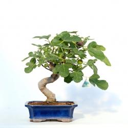 Ficus carica - Fico - 41 cm