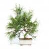 Pinus halepensis - Pino d'Aleppo - 58 cm