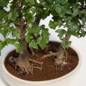 Acer buergerianum - Acero - 54 cm
