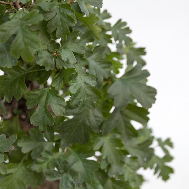 Crataegus cuneata - Biancospino giapponese - 57 cm