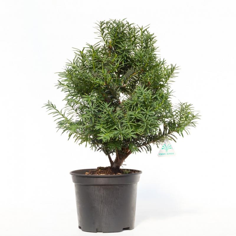 Taxus spp - 49 cm