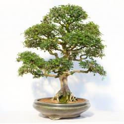 Zelkova nire - Olmo cinese - 88 cm