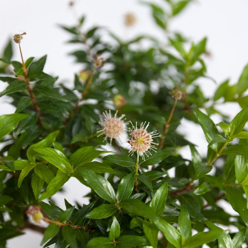 Adina Pilulifera - 30 cm