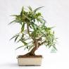 Ficus erecta - Fico - 41 cm