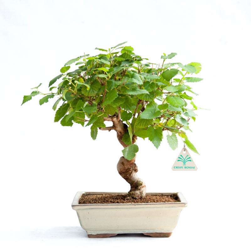 Morus - Gelso - 35 cm