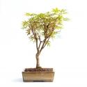 Acer palmatum nomura - Acero - 45 cm