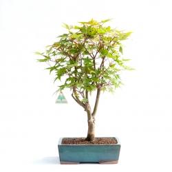 Acer palmatum deshojo - Acero - 47 cm