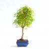 Acer palmatum viridis - Acero - 47 cm