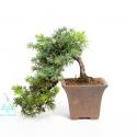Juniperus rigida - Ginepro - 18 cm