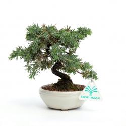 Juniperus rigida - Ginepro - 16 cm