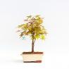 Acer palmatum deshojo - Acero - 29 cm