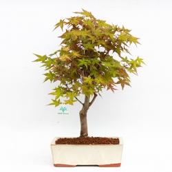 Acer palmatum deshojo - Acero - 42 cm