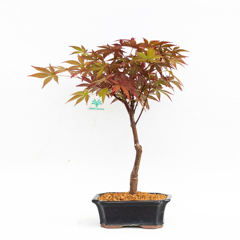 Acer palmatum nomura - Acero - 32 cm