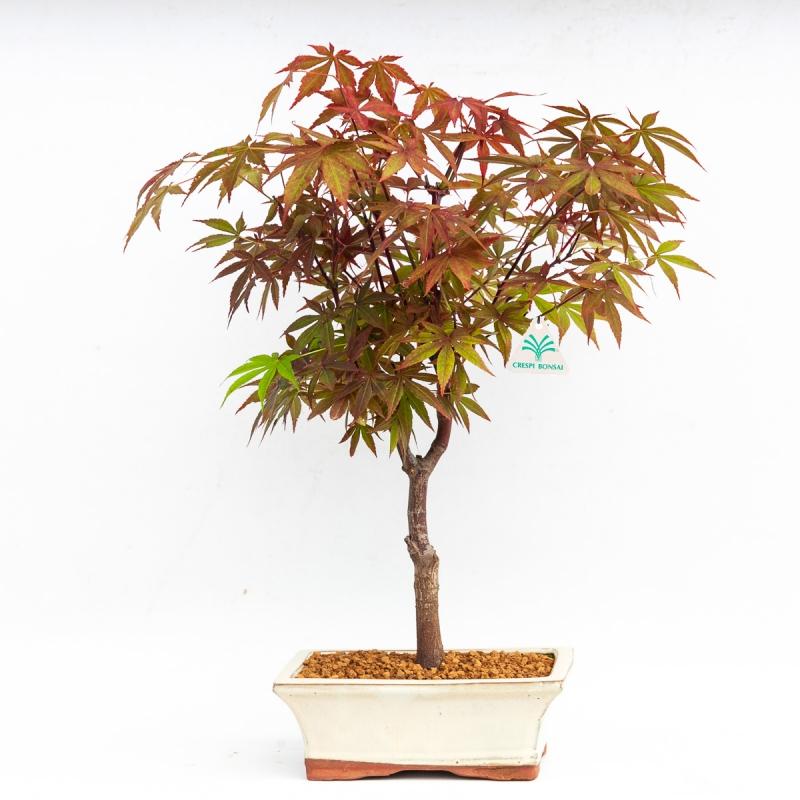 Acer palmatum - Acero - 36 cm