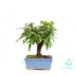 Punica granatum - Melograno - 16 cm