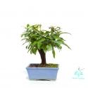 Punica granatum - Pomegranate - 16 cm