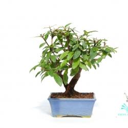 Punica granatum - Melograno - 19 cm