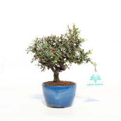 Cotoneaster - 19 cm