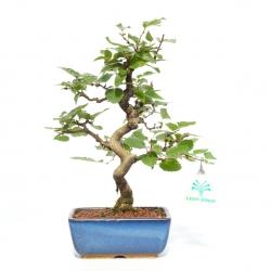 Carpinus turczaninowii - Carpino - 27 cm