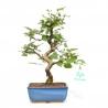 Carpinus turczaninowii - Hornbeam - 27 cm