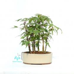 Acer palmatum viridis - Maple - 21 cm