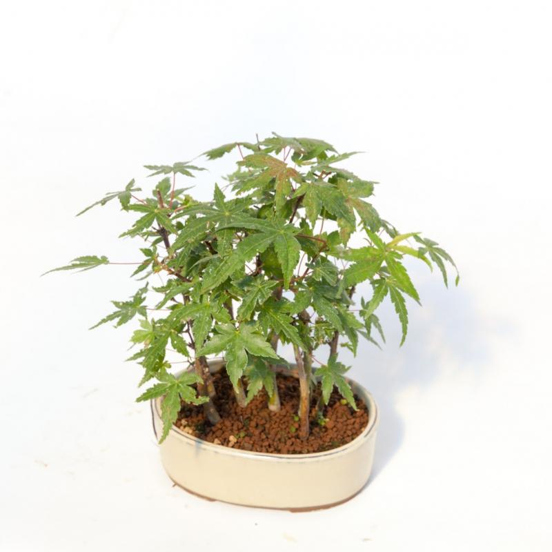 Acer palmatum viridis - Acero - 21 cm